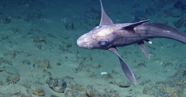 Ghost Shark_SPP unknown